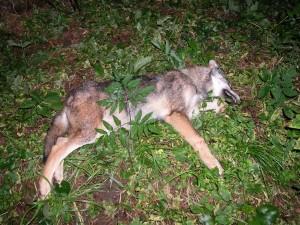 Wolf Волк 005