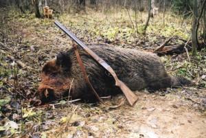Wild boar Кабан 009