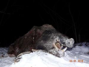 Wild boar Кабан 015