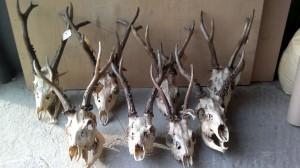 Siberian roe deer Сибирская косуля 007