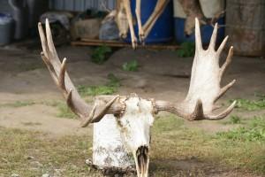 European Moose 002