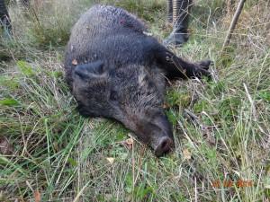 Wild boar Кабан 002
