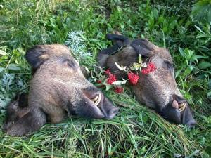 Wild boar Кабан 005