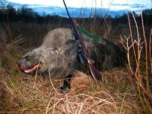 Wild boar Кабан 007