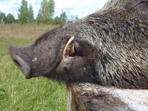 Wild boar Кабан 010