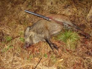 Wild boar Кабан 012