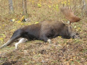 Kamchatka moose Лось 038