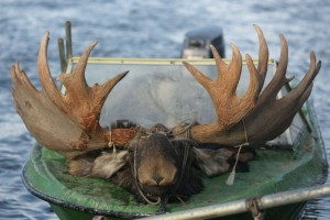 Magadan moose Лось 043